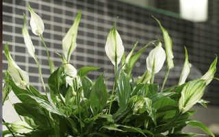 Спатифиллум — «цветок женского счастья»
