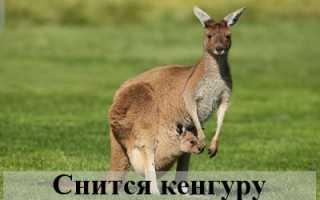 К чему мужчине или женщине снится кенгуру: загадки сонников