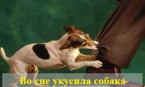 Во сне укусила собака — толкование сновидения в различных сонниках