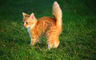 Что означает, если приснился рыжий котёнок?