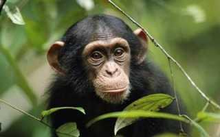 К чему снится обезьяна: толкование по соннику