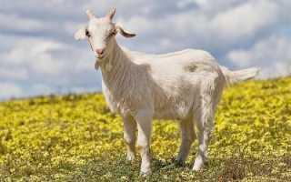 Толкование сонника: к чему видеть во сне козу