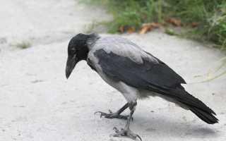 К каким событиям в реальной жизни снится ворона?