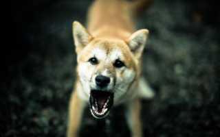 Толкование сонника: к чему снится злая собака?