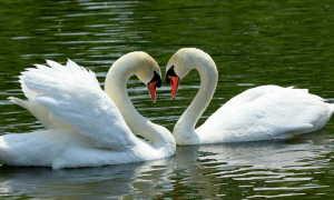 Толкование сонника: к чему снятся лебеди?