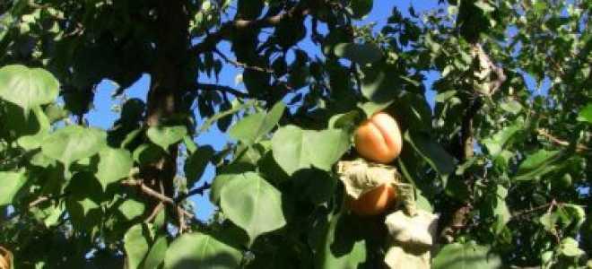 К чему снятся абрикосы?