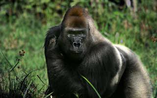 К чему снится горилла: толкование по сонникам
