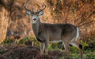 К чему снится олень по различным сонникам?