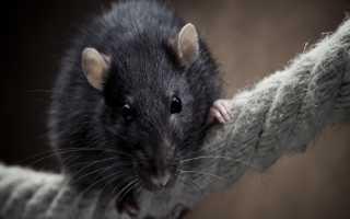 Крыса укусила во сне: толкование по соннику