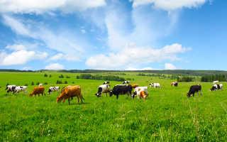 Толкование по соннику: снится стадо коров