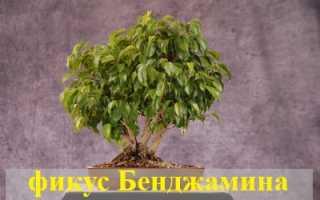 Приметы и суеверия, связанные с фикусом Бенджамина