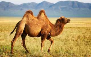 К чему снится верблюд: толкование по различным сонникам