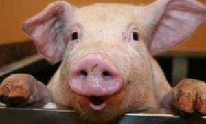 К чему снится свиная голова: сонник для женщин и мужчин