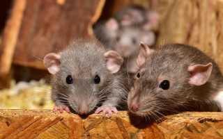 Толкование сна: к чему снится много крыс
