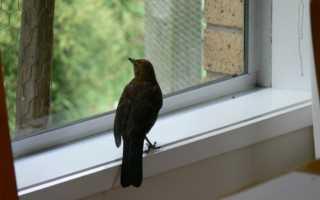 Что значит, если птица залетела в дом: толкование приметы