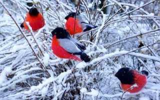 Снегирь: толкование сновидения разными сонниками