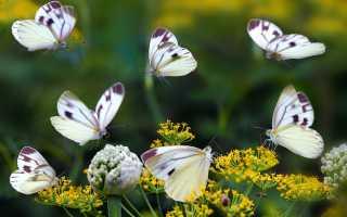 К чему снятся бабочки согласно различным сонникам
