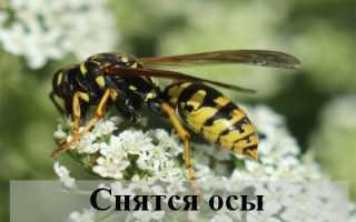 К чему снятся осы: толкование по сонникам