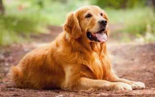 К чему снится рыжая собака: толкование по соннику