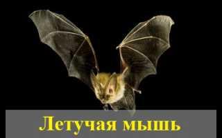 Снится летучая мышь: толкование сновидения популярными сонниками