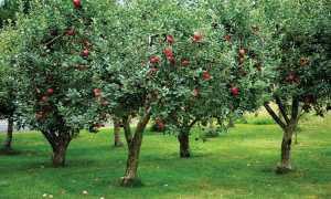 К чему снится яблоня с яблоками?
