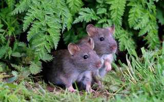 К чему снятся мыши?