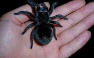 К чему снится большой черный паук?