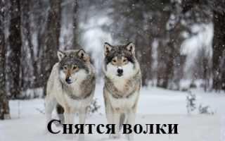 Как трактовать сновидения, в которых присутствуют волки?