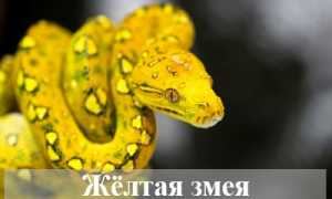 Приснилась жёлтая змея — значение сна по сонникам
