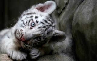 Снится тигренок: трактовка образа по соннику