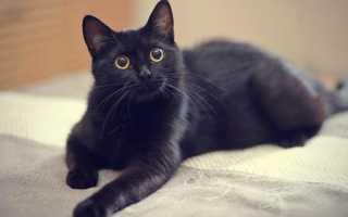 Что сулит черная кошка в доме и опасно ли ее заводить?
