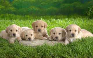 К чему снятся щенки и что они символизируют?