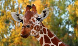 К чему снится жираф: толкование образа по сонникам