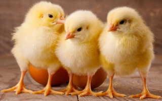 К чему снятся цыплята мужчинам и женщинам?