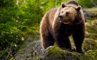 Что для мужчины означает сон, в котором приснился медведь?