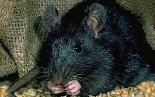 Приснилась чёрная крыса: толкования по соннику