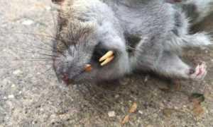 К чему снится дохлая, мертвая крыса по соннику?
