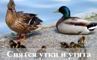 К чему снятся утки и утята: толкования сонников