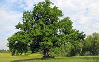 Дерево по знаку зодиака — выбор талисмана и его воздействие
