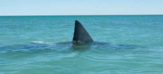 К чему снится живая и мёртвая акула по разным сонникам?