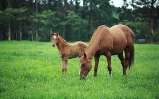 К чему снится конь или лошадь с жеребенком?
