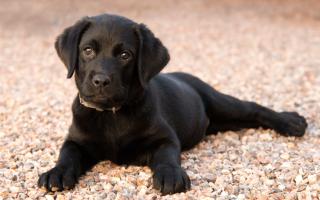 Приснилась чёрная собака: значение сновидения