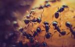 К чему снятся муравьи — толкование по сонникам