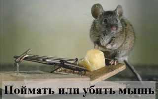 Сонник: что означает убивать или поймать мышь?