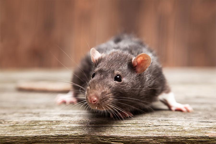 Что означает крыса, которую довелось видеть во сне?
