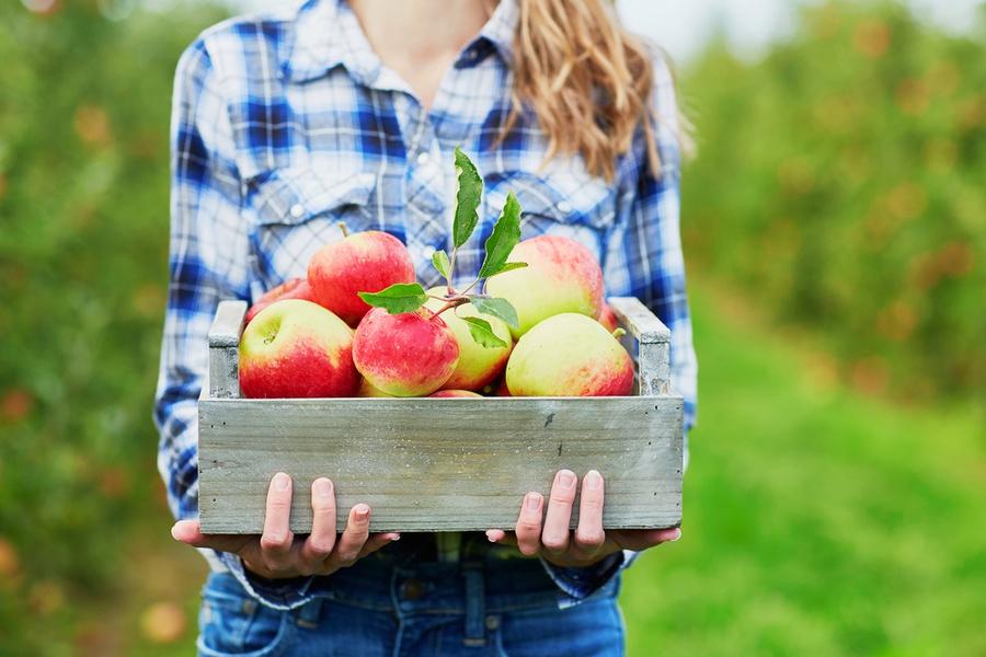 Сонник: что означает собирать во сне яблоки?