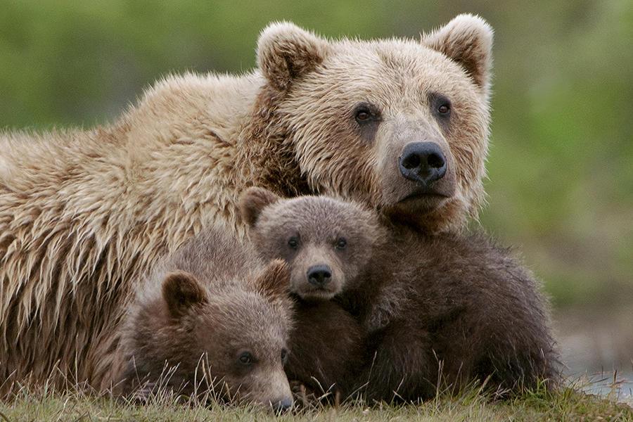 Что предвещает сон о медведице с медвежатами?