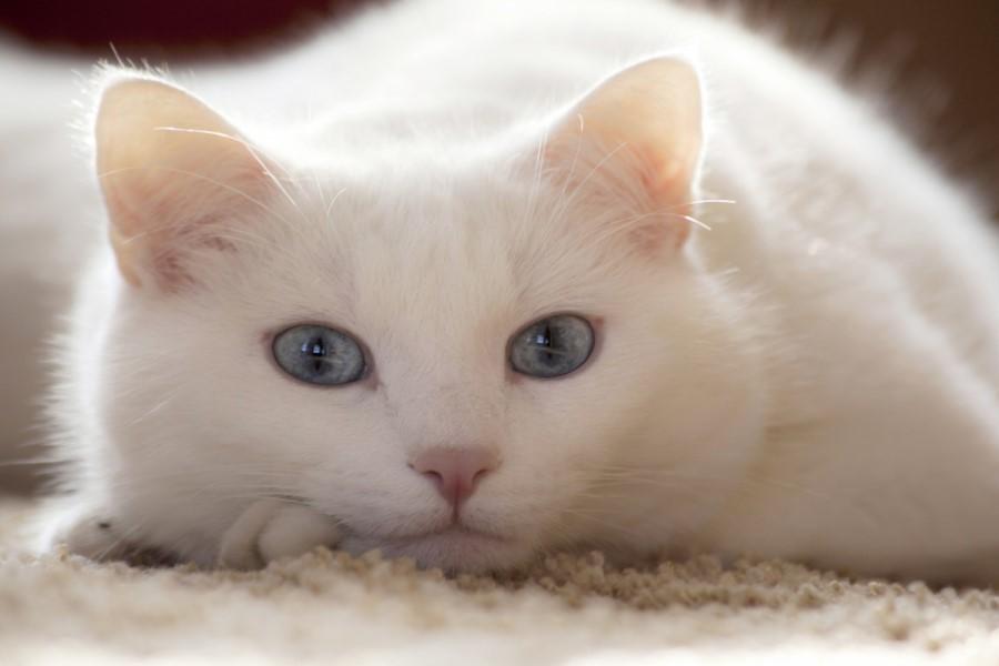 К чему приснилась белая кошка мужчине или женщине?