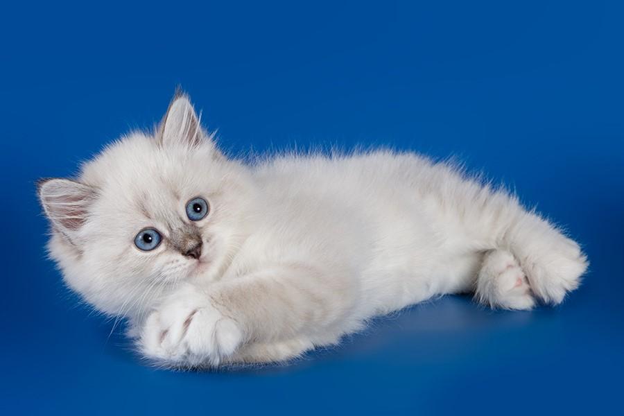 К чему снится белый котёнок?