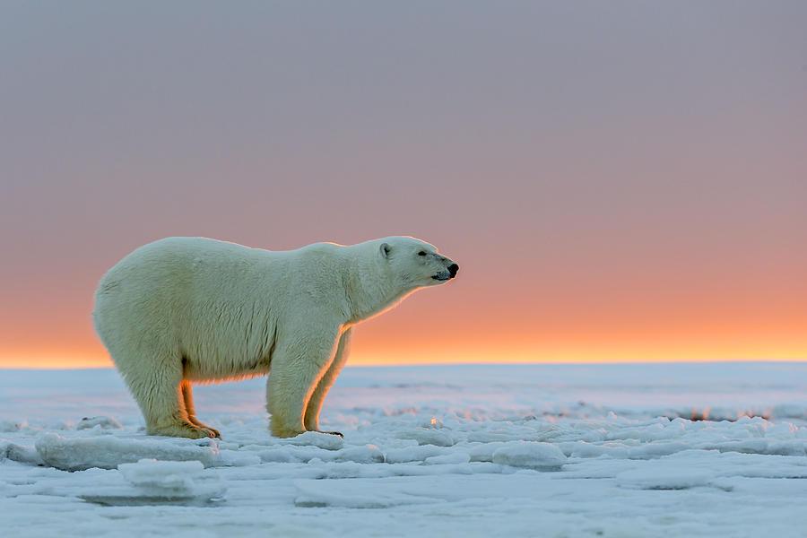 К чему снится белый медведь женщине и мужчине?
